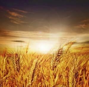 bigstock_Beautiful_Wheat_Sunset_12573245